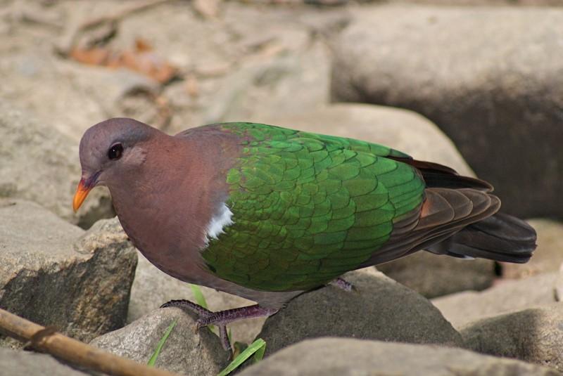 Emerald Ground Dove Tony Keene Birds