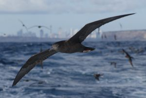 Wedge-tailed Shearwater, Sydney.