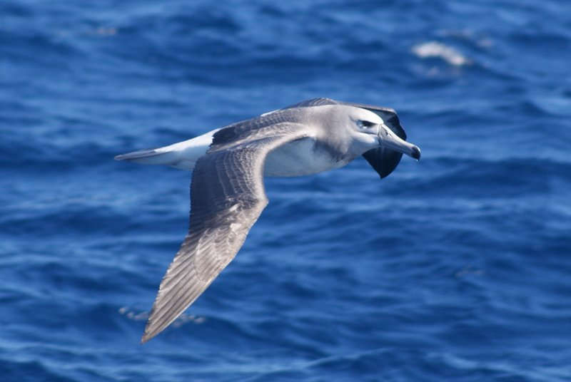 Juvenile White-capped (Shy) Albatross