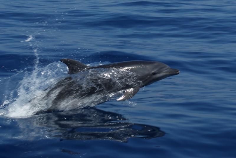 Oceanic Bottle-nosed Dolphin